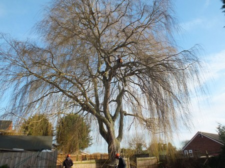 willow-before